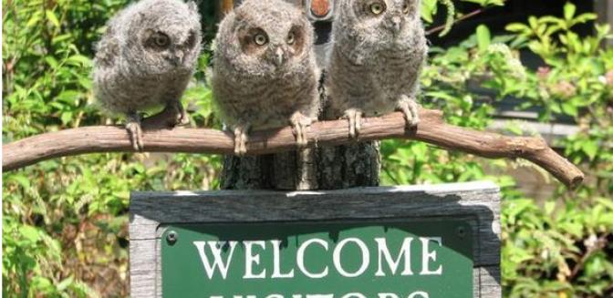Balsam Mountain Preserve NC Screech Owls