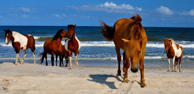 Outer Banks Wild Mustang Horses